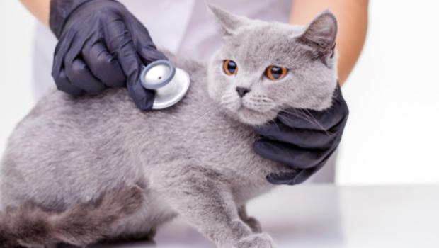 gezondheid van je kat, kat, zieke kat, kat heeft wormen.png